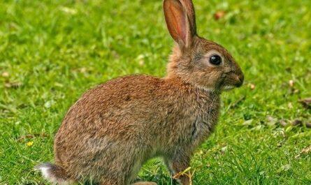 El origen ibero-altaico del término 'conejo'.